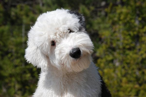 Cuál es el origen los perros Bobtail o Viejo pastor Inglés