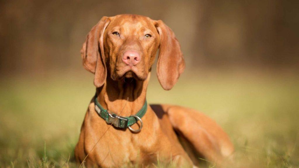 Cuál es la historia del perro braco húngaro