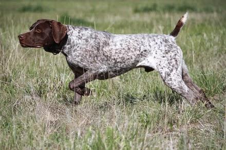 Cuáles son las características del perro braco alemán