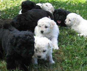 cuidados de la raza de perro puli