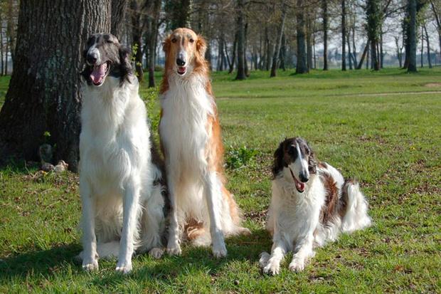Cuidados de los perros de raza borzoi