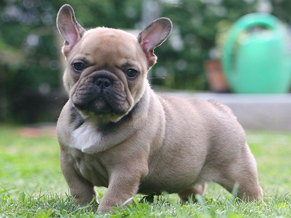 cuidados de un perro bulldog frances
