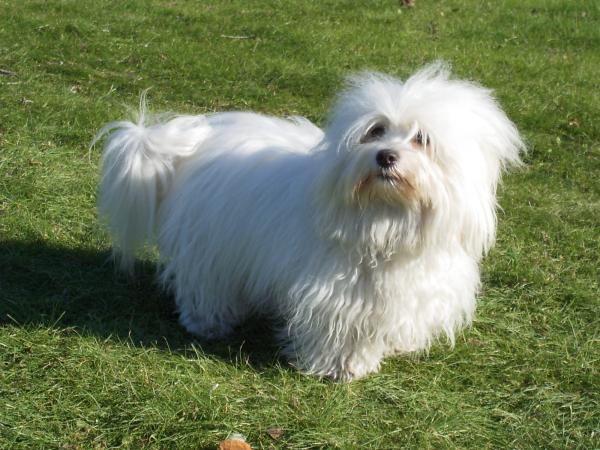 Cuidados y salud del perro cotón de Tulear