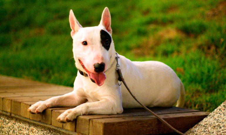 5 curiosidades sobre los perros de la raza bull terrier Inglés