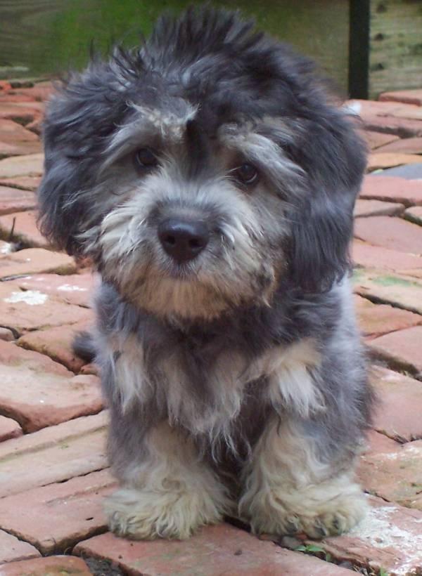 Conoces la historia del perro dandie dinmont terrier
