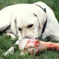darle a mi mascota huesos para perros, ¿es buena idea?