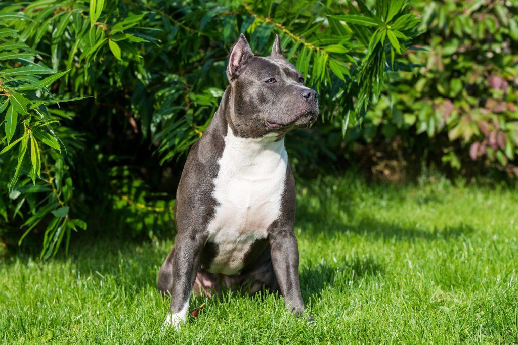 datos importantes de los perros pit bull
