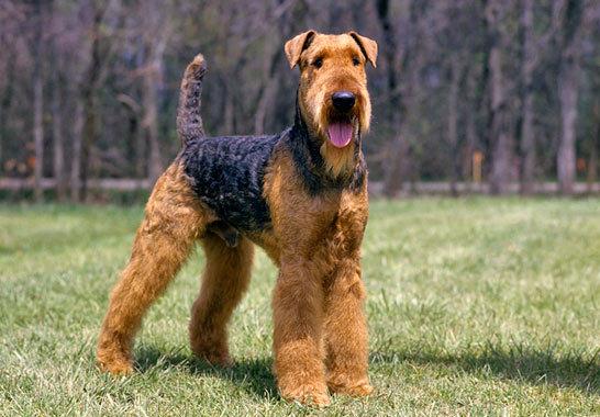 De dónde proviene el airedale terrier