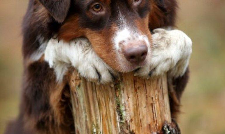 depresion en perros sintomas y tratamiento
