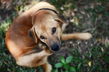 dermatitis en perros sintomas tratamiento