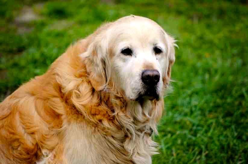 Descubre las ventajas de adoptar a un perro anciano