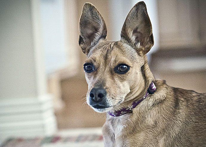 detectar la otitis canina