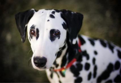 detectar la sordera en perros