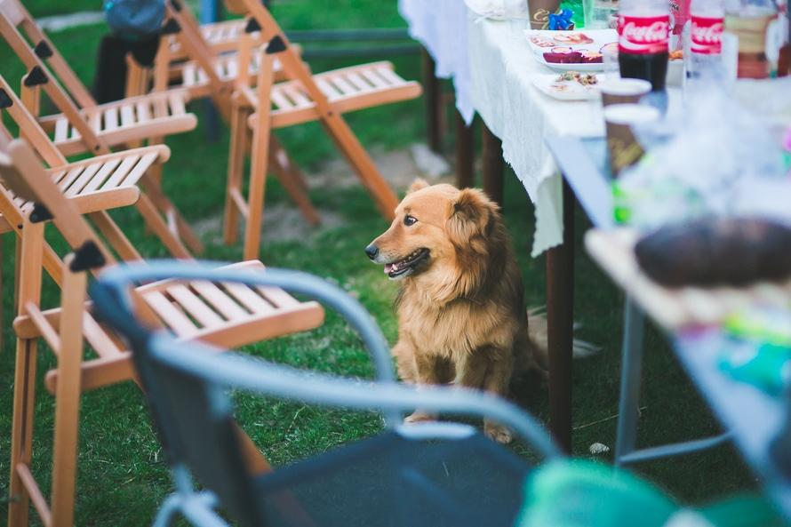 detectar la torsión gástrica canina