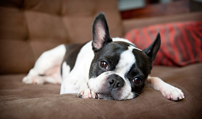 Diferentes proporciones del Boston Terrier y Bulldog Francés