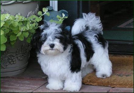 Dónde tuvo su origen el perro bichón habanero