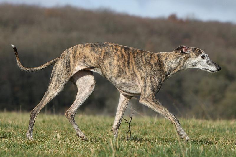 El carácter de la raza de perro galgo español