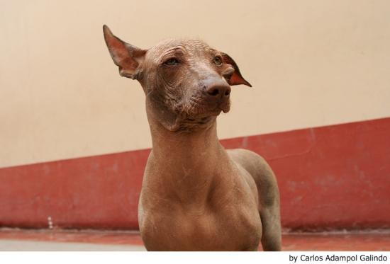 El carácter de la raza de perro sin pelo del Perú