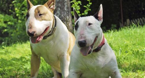 El carácter de la raza de perros bull terrier inglés