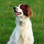 El elegante y valiente perro setter irlandés