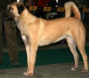El excelente carácter de los perros pastores de Anatolia