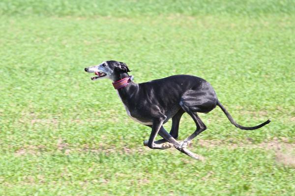 El físico de la raza de perro galgo español