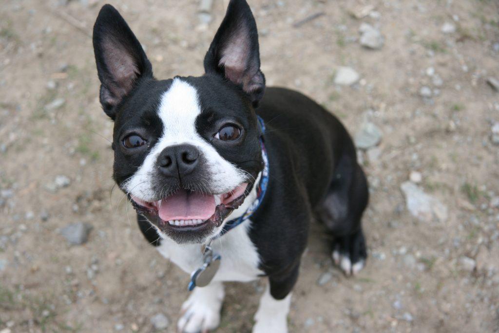 El origen de la raza de perro Boston Terrier