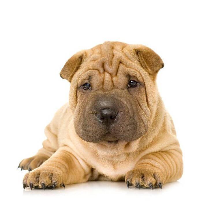 El origen del perro shar pei