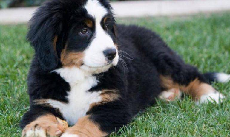 perro boyero de Appenzell