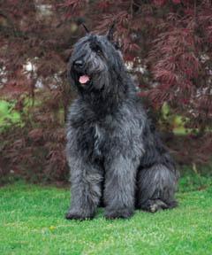 El perro boyero de Flandes y la salud