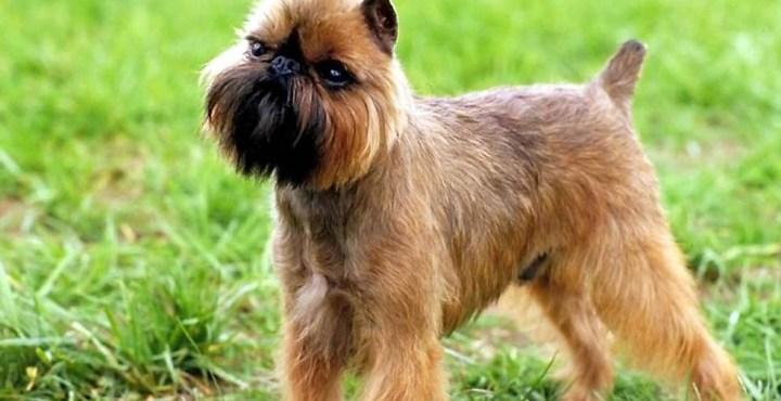 El perro grifón de Bruselas y la salud