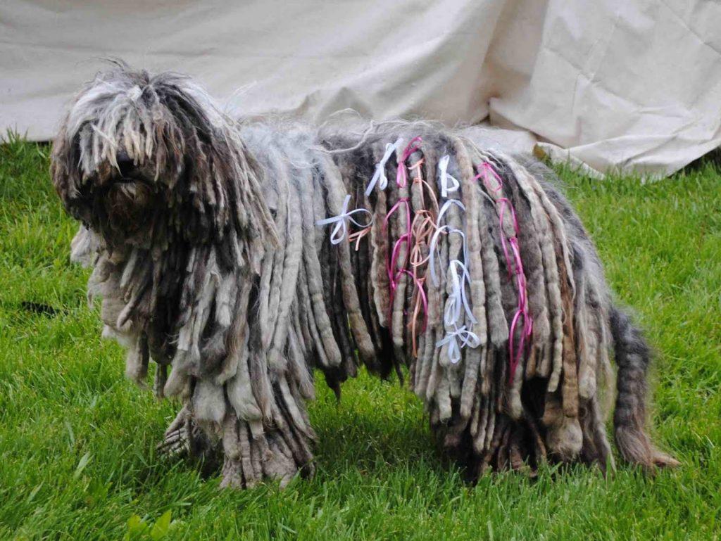 El temperamento del perro de raza komondor