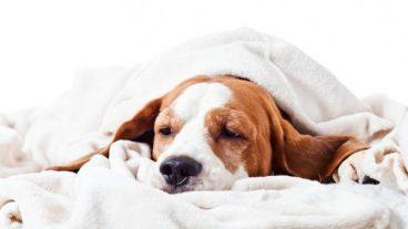 Enfermedades cardíacas en perros