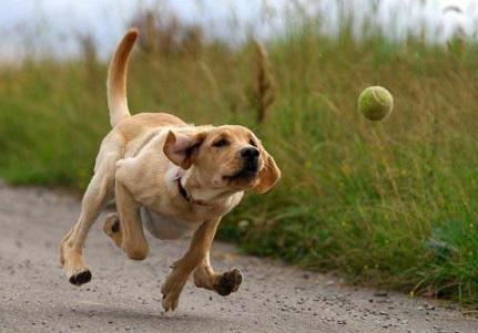 enseñar a mi perro a traer pelota