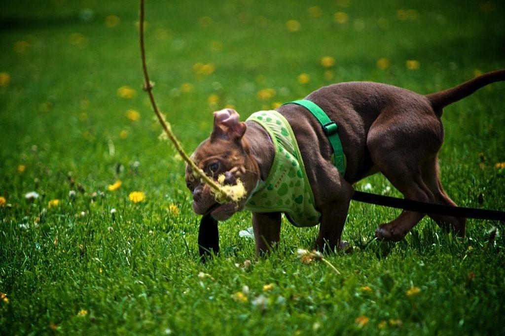 entrenamiento schutzhund