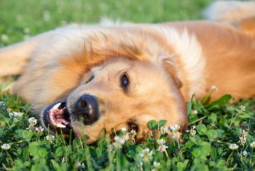 episodio de shock anafiláctico en perros