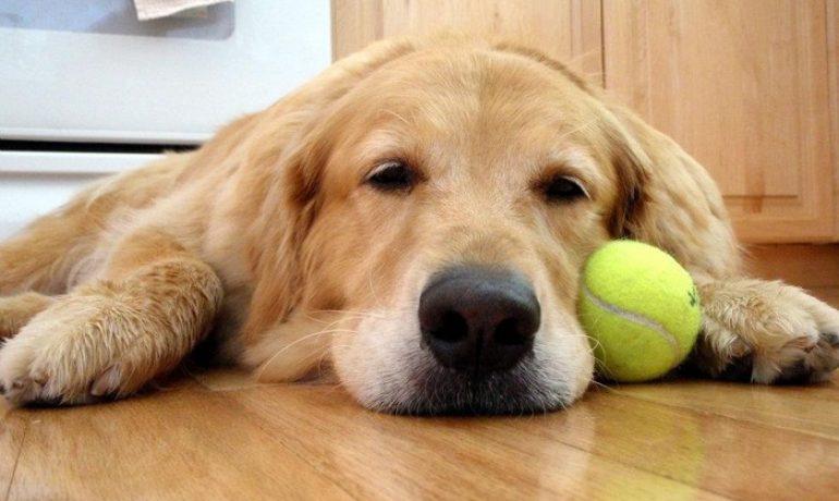 Giardia en perros