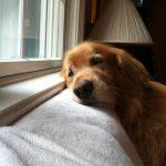 hiperapego en perros