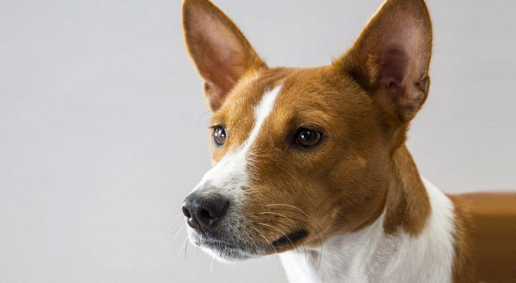 historia de la raza de perro Basenji