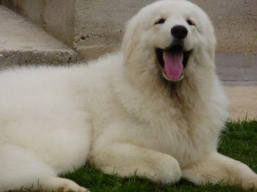 Historia de la raza de perro kuvasz