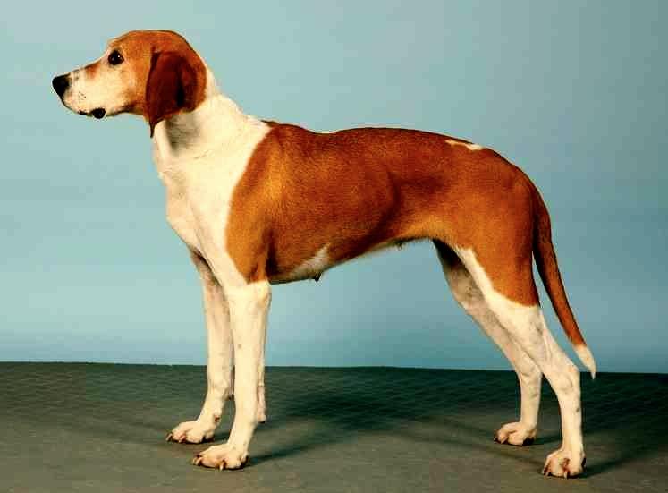 Historia de la raza de perro sabueso de Hygen
