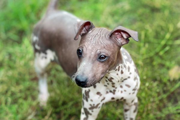 Historia de la raza de perro terrier americano sin pelo