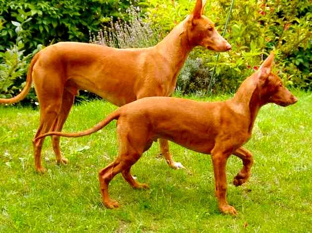Historia de la raza del perro faraón
