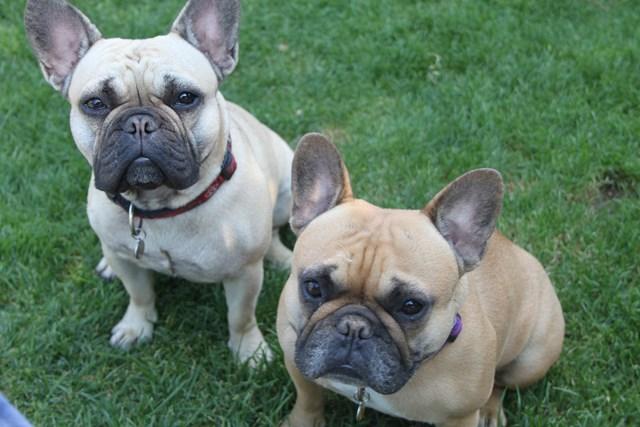 Historia del perro Bulldog Francés