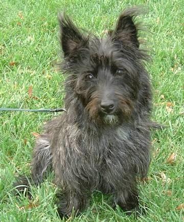 historia del perro cairn terrier
