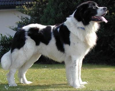 Historia del perro landseer