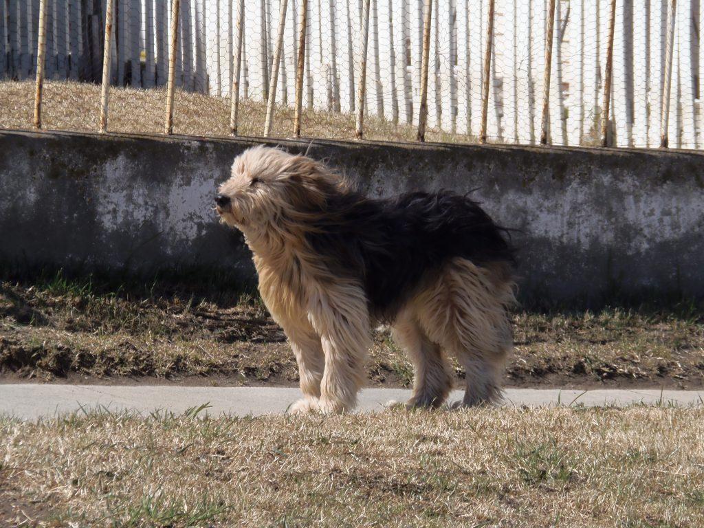 Historia del perro ovejero magallánico