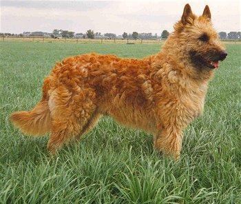 Historia del perro pastor belga laekenois