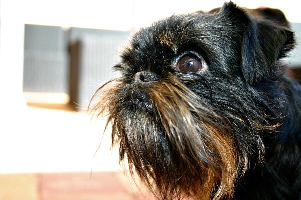 La apariencia física del perro de raza grifón belga