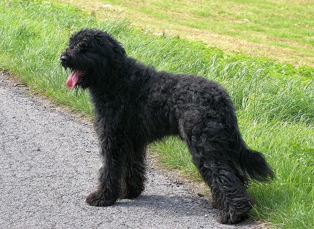 La historia de la raza de perro boyero de Flandes